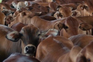 Growth Opportunity for Beef Cattle Industry
