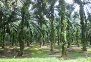 Palm Revitalization for Smallholders Is No Longer Just a Story